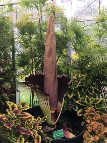 世界最大級の花「ショクダイオオコンニャク」再開!?〜ハワイフォスター植物園〜