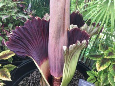 ハワイで7年に一度しか咲かないという花が咲いた!(リベンジ編)
