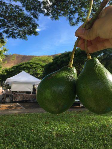 ハワイでアボガドの水栽培をしてみる②