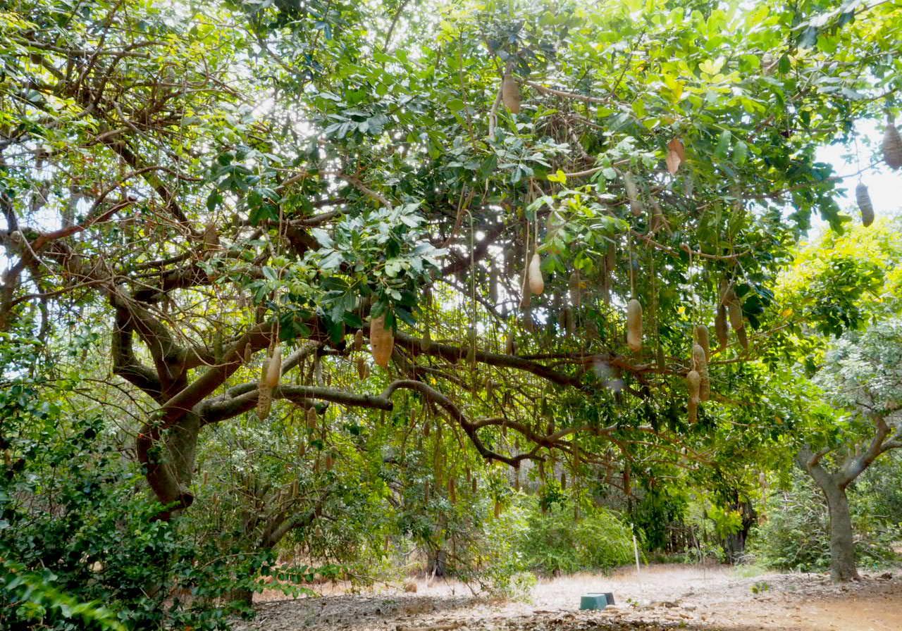 ココクレーターボタニカルガーデンソーセージの木