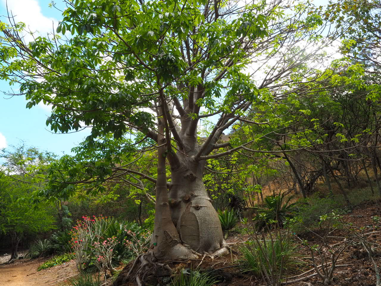 ココクレーターボタニカルガーデンバオバブの木
