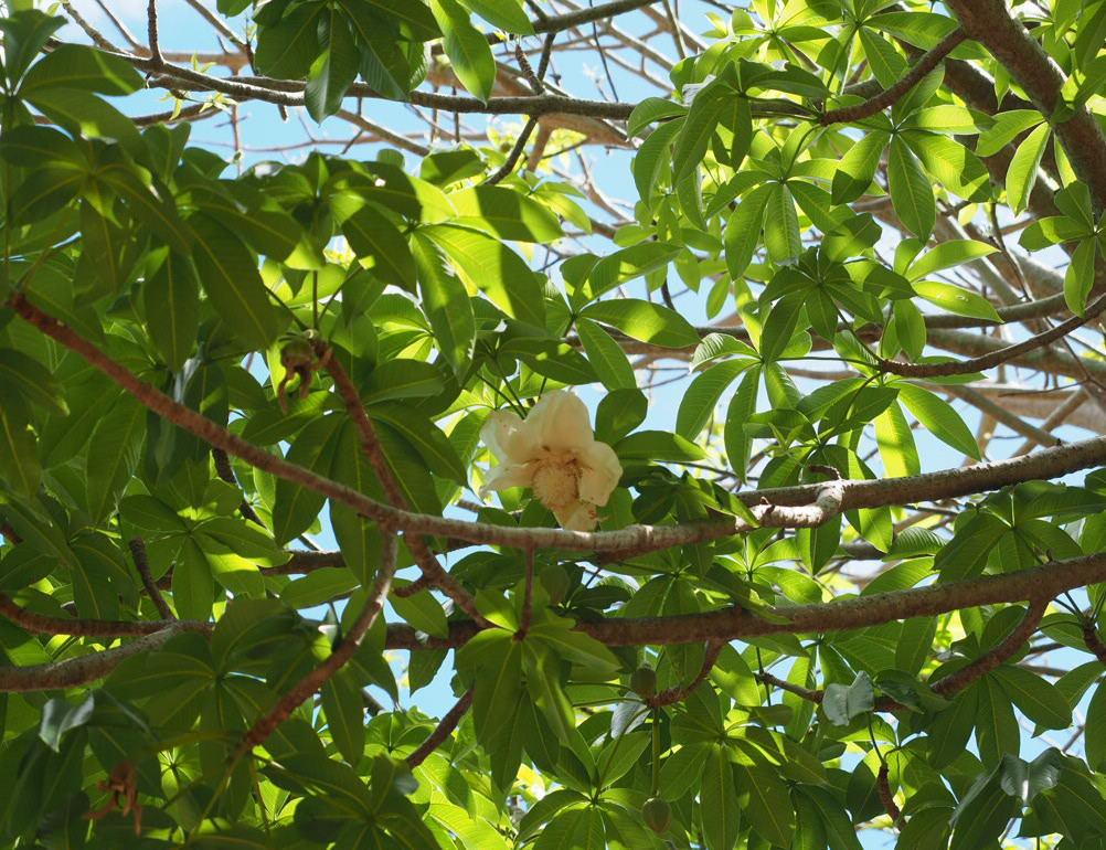 ココクレーターボタニカルガーデンバオバブの木の花