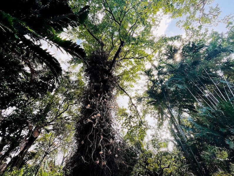 キャノンボールの木(Cannonball tree) フョスター植物園