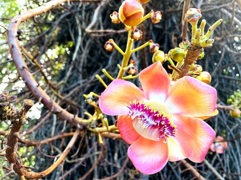 キャノンボールの花(Cannonball tree) フョスター植物園