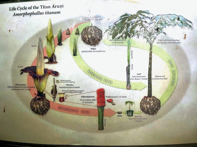 ショクダイオオコンニャクの説明図