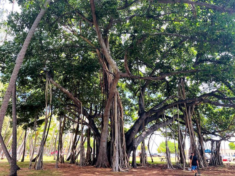 カピオラニビーチパークの木