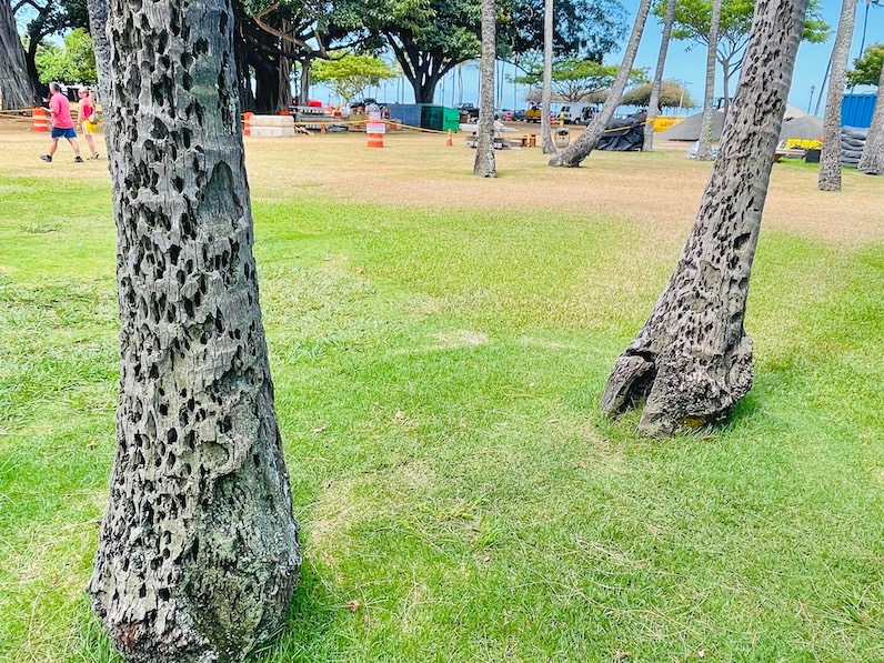 カピオラニビーチパークハンモック吊るす木