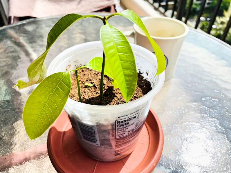 マンゴー種植えて一週間